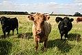 Inquisitive heifers - geograph.org.uk - 235552.jpg