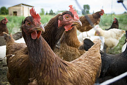 Inquistive hens