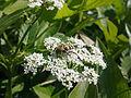 Insecte sur une fleur blanche d'apiacée à Grez-Doiceau 004.jpg