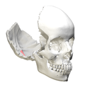 Internal occipital crest4.png