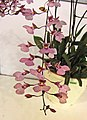Ionumnia Cuisine -台南國際蘭展 Taiwan International Orchid Show- (26004959917).jpg