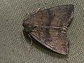 Ipimorpha contusa - Лиственная совка серо-бурая (39321021050).jpg