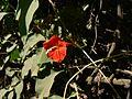 Ipomoea hederifolia (1777508125).jpg
