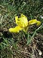 Iris humilis subsp. arenaria sl9.jpg