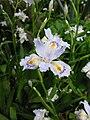 Iris japonica 5.JPG