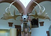 Skeleton demonstrating how the antlers are best displayed in frontal view.