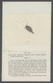 Itea vivida - - Print - Iconographia Zoologica - Special Collections University of Amsterdam - UBAINV0274 098 08 0017.tif