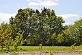 Ivanchytsi Rozyshchenskyi Volynska-Tilia cordata nature monument-general view-2.jpg