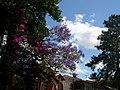 Jacarandá combinando com Primavera - panoramio.jpg