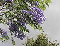 Jacaranda mimosifolia 3707.jpg