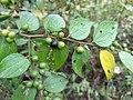 Jackal Jujube, Small-Fruited Jujube, Wild Jujube(Ziziphus oenoplia) തുതാലീ, ചെറിയ ലാന്ത, തുതാരീ.jpg