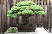 Japanese White Pine, 1625-2007.jpg