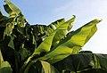 Japanische Faser-Banane (Musa basjoo) Blumengärten Hirschstetten Wien 2014 b.jpg