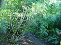 Jatropha multifida arbre corail.JPG
