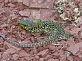 Jewelled Lizard (Timon lepidus) juvenile found under a stone (14190218293).jpg