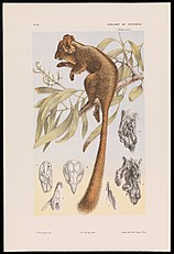 John James Wild - Leadbeater's Possum, Gymnobelideus leadbeateri - Google Art Project.jpg
