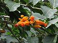 Juanulloa mexicana — Scott Zona 003.jpg