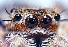Spider anatomy - Wikipedia
