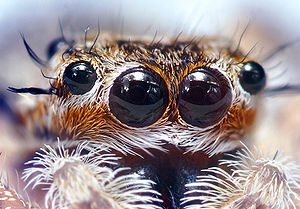 Spider anatomy - Multiple eyes of a jumping spider