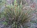 Juncus acutus subsp. acutus Habitus LagunadelaMata.jpg