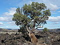 Juniper in Lava Beds.JPG