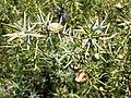Juniperus oxycedrus. Xinebru castellán.jpg
