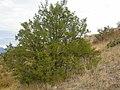 Juniperus scopulorum (3488815190).jpg