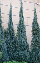 Juniperus scopulorum Blue Heaven 1.jpg