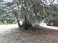 Juniperus virginiana ssp silicicola 3656.jpg