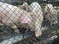 KHOZER (Pigs) 4.jpg
