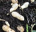 Kacang tanah di Puchong.JPG