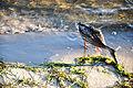 Kaczka nad Zatoką Pucką.jpg