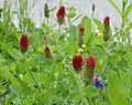 Kals am Grossglockner flowers 256.jpg