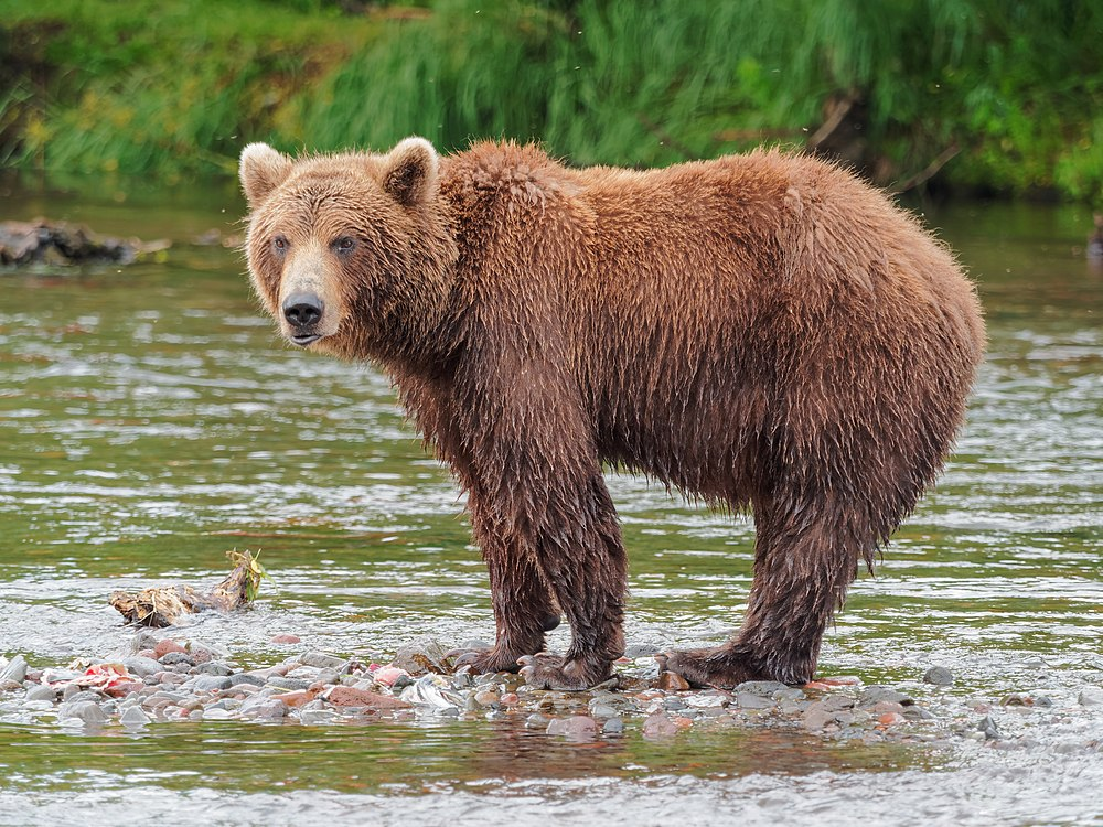 The average litter size of a Brown bear is 2