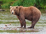 Kamchatka Brown Bear near Dvuhyurtochnoe on 2015-07-23.jpg