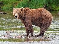 Kamchatka Brown Bear near Dvuhyurtochnoe on 2015-07-23.jpg