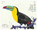 Keel Billed Toucan Fran Giffard.jpg