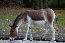 Kiang Tierpark Hellabrunn-4.jpg