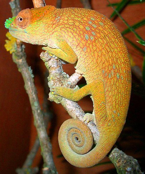File:Kinyongia tenuis-Rollschwanz.jpg