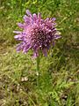 Knautia arvensis20140704 239.jpg