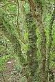 Kohekohe trunks covered in flowers.jpg