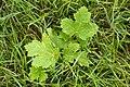 Korina 2010-08-25 Heracleum mantegazzianum 1.jpg