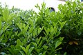 Korina 2014-05-11 Prunus laurocerasus 1.jpg
