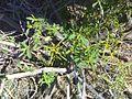 Kraalbos sprouting.jpg
