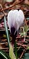 Krokus (Crocus). Vrolijke voorjaarsbloeier. Locatie, Natuurterrein De Famberhorst 08.jpg