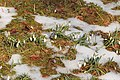 Kvetoucí sněženky v PP Sněženky ve Vysokém lese 09.jpg
