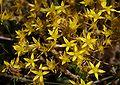 Kwiaty Sedum acre 02.07.10 p.jpg