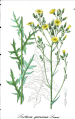 Lactuta quercina ssp quercina.png