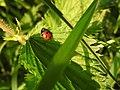 Ladybird (28116539755).jpg