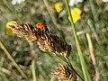 Ladybug on Sibillini Mountains 04.jpg
